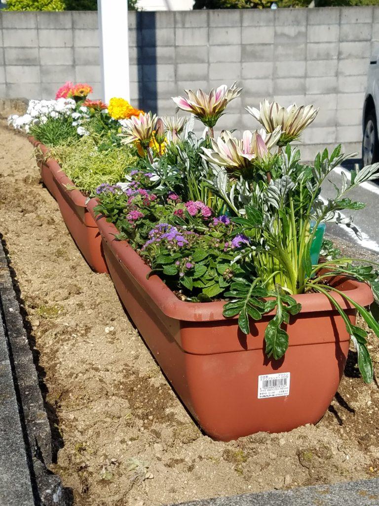花壇 花植え ガザニア 草むしり