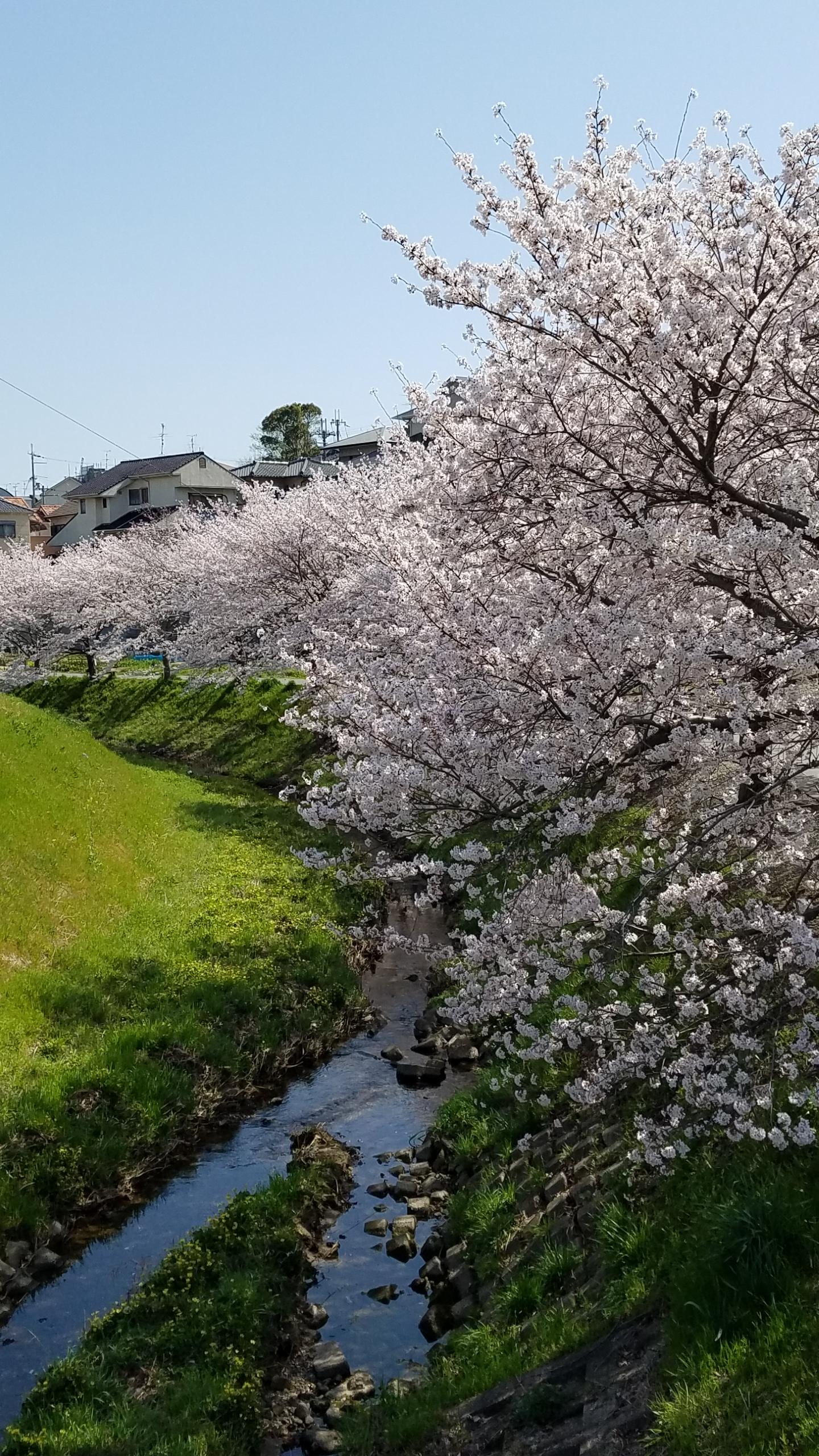 グレージ 川沿い 桜 満開