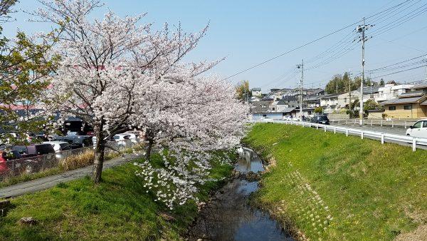 お店近くの桜がきれいに咲いています。